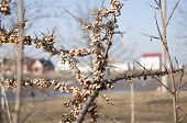 stock photo of sea-buckthorn  - Bush sea buckthorn with last year - JPG