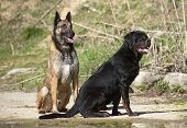 Young Rottweiler And Malinois