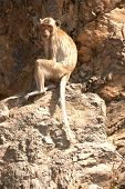 Monkey Sitting On Rock ( Macaca Fascicularis ).
