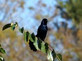 Boat-tailed Grackle Perched on Branch