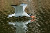 A Caspian Tern (hydroprogne Caspia) Scooping Up A Drink Of Water In Flight