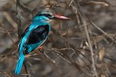 Blue-breasted Kingfisher (halcyon Malimbica) Perched In A Dead Grapefruit Tree