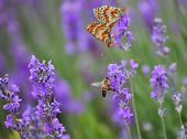 Bee and mating butterflies on lavender flowers