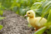Baby duck in the garden