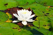 White Water Lily Surrounded By Lily Pads