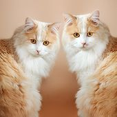 Two  cats on orange background