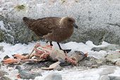 South Polar Skua Who Eats Dead Gentoo Penguin Chick