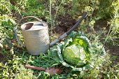 picture of water cabbage  - scoop watering can and cabbage in garden in summer day - JPG