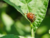 picture of potato bug  - potato bug in potatoes leaves in garden