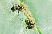 image of aphid  - two ants tending aphids group on leaf of walnut tree close up