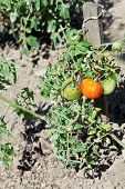 Red And Green Tomato Plant In Garden
