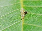 stock photo of walnut-tree  - ant extracting honeydew from aphids herd on leaf of walnut tree close up - JPG