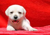 Happy Yellow Labrador Puppy Portrait On Red