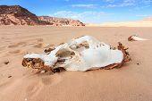 Bleached White Skull In A Desert