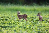 Whitetailed Deer Fawns