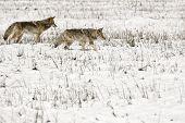Coyote Pair in Snow