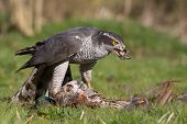 Goshawk Enjoying a Meal