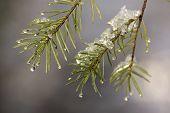 Pine Needles and Snowmelt