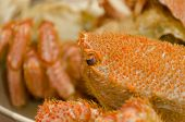 picture of crab  - Chinese mitten crab or Shanghai hairy crab closeup - JPG