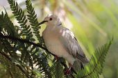 image of ring-dove  - The African collared dove  - JPG