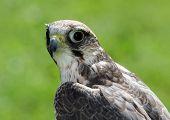 Peregrine Falcon With Very Attentive Gaze