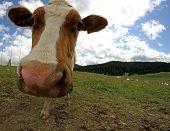 Amazing Cow Muzzle Photographed With Fisheye Lens