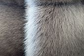 Fluffy Texture Of Fur Wild Animals With A Strip