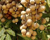 Bunch of sweet longan fruit
