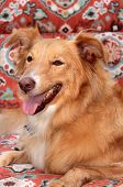 A Smiling and Happy Shetland Sheepdog - Golden Retriever dog sits on a lounge chair outside in the s