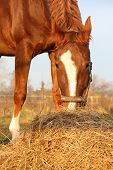Chestnut Horse Eating Hay At The Paddock