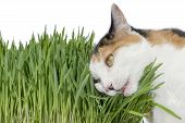 stock photo of laxatives  - Female cat chewing grass - JPG