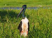 Black-necked Stork, Jabiru, Ephippiorhynchus asiaticus, Australia