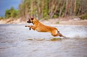 pic of belgian shepherd dogs  - red belgian shepherd dog having fun on the beach