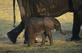 Young African Elephant (Loxodonta Africana) with mother on savannah