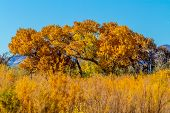 picture of foliage  - Beautiful Fall Foliage on Cottonwood Trees Along the Rio Grande River in New Mexico.  Prairie grass in front.
