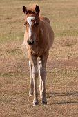 chestnut pony