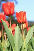 Tulip flower,Curcuma,Common Tulipa,Common Garden Tulipa