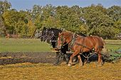 picture of horse plowing  - A team of three horses are pulling a plow through the oats stubble - JPG