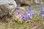 Purple crocus field. Blue crocuses