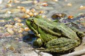 pic of wart  - Fat warted toad on the bank of the river - JPG