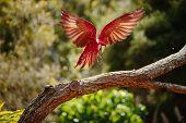 Parrot in flight at Currumbin Wildlife Park