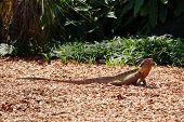 lizard at Currumbin Wildlife Park
