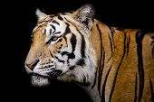 picture of sundarbans  - Closeup Tiger  animal wildlife black color  background - JPG