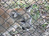 Endangered Florida Panther