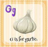 Illustration of a letter G is for garlic