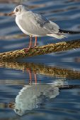 Gull On A Rope With Water Refections
