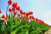 View from below of beautiful orange tulips