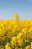 Colza. A Field With Flowering Yellow  Rapeseed