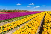 View of yellow and purple tulip rows in summer