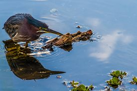 stock photo of crawdads  - A Good Shot of a Small Heron - JPG